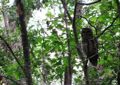 mexico-owl.jpg