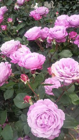 rose35.jpg