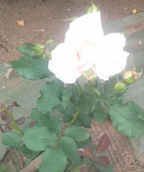 rose42.jpg