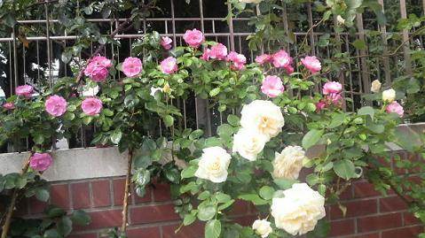 rose48.jpg