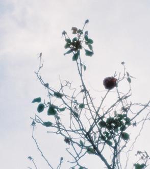 rose_kareta.jpg