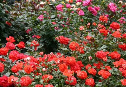 rose_red.jpg