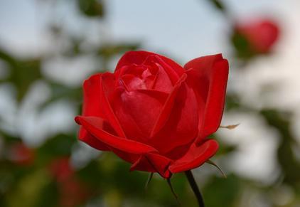 rose_red2.jpg